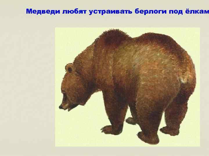 Медведи любят устраивать берлоги под ёлкам