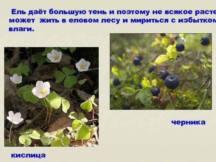 Ель даёт большую тень и поэтому не всякое расте может жить в еловом лесу