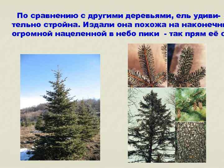 По сравнению с другими деревьями, ель удивительно стройна. Издали она похожа на наконечни огромной