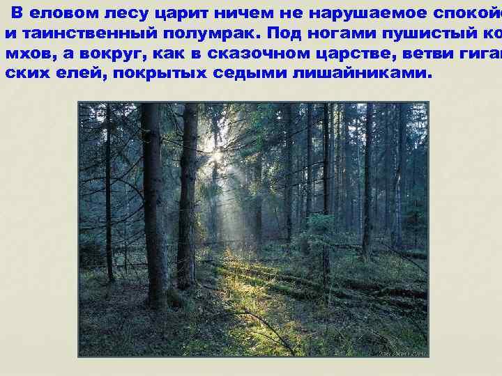 В еловом лесу царит ничем не нарушаемое спокойс и таинственный полумрак. Под ногами пушистый