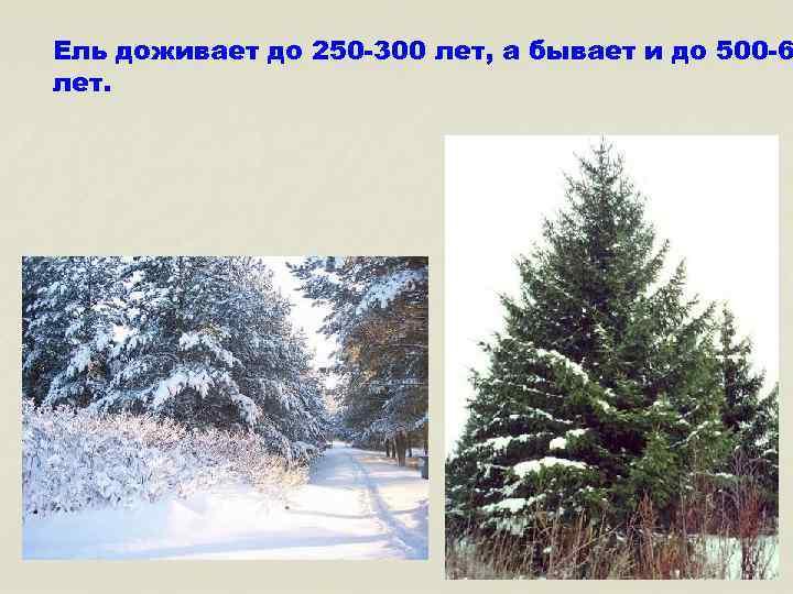 Ель доживает до 250 -300 лет, а бывает и до 500 -6 лет.