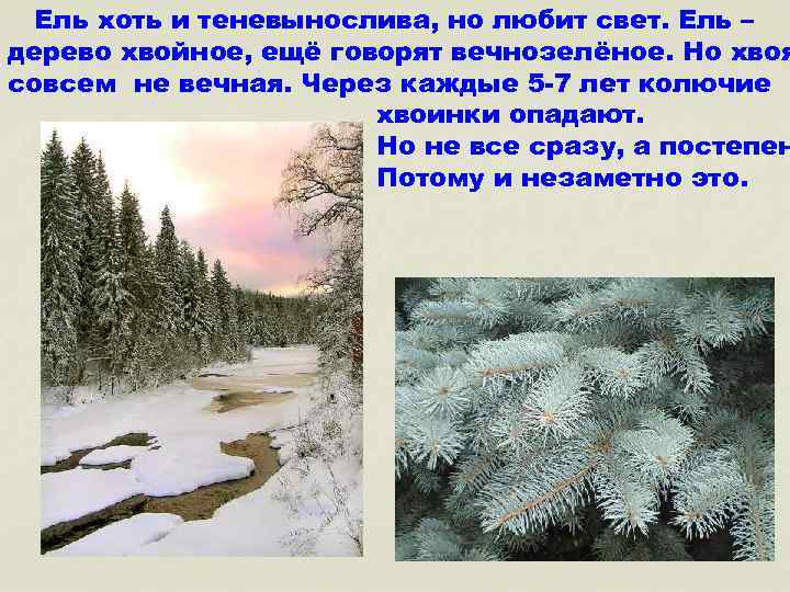 Ель хоть и теневынослива, но любит свет. Ель – дерево хвойное, ещё говорят вечнозелёное.