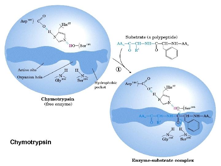 Chymotrypsin