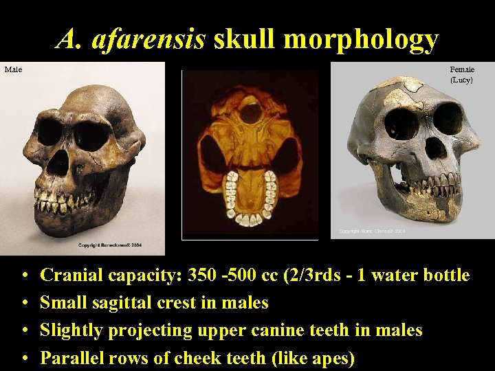 A. afarensis skull morphology Male • • Female (Lucy) Cranial capacity: 350 -500 cc