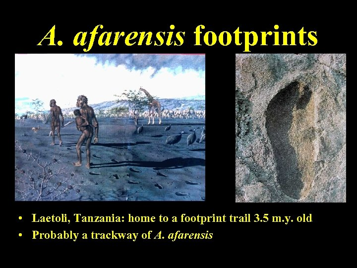 A. afarensis footprints • Laetoli, Tanzania: home to a footprint trail 3. 5 m.