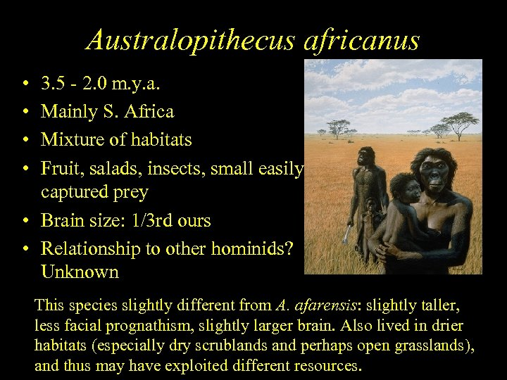 Australopithecus africanus • • 3. 5 - 2. 0 m. y. a. Mainly S.