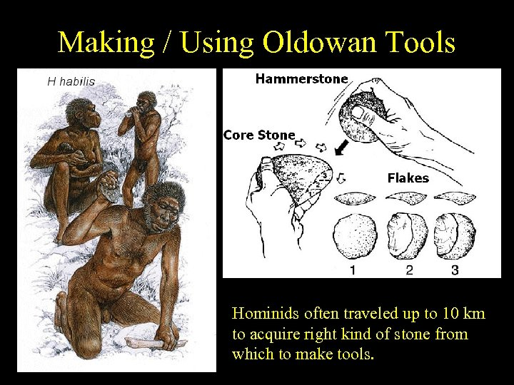 Making / Using Oldowan Tools Hominids often traveled up to 10 km to acquire