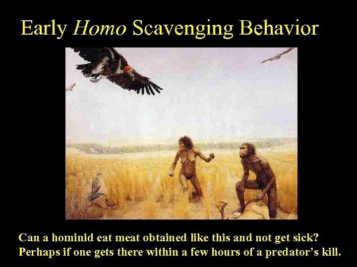 Early Homo Scavenging Behavior Can a hominid eat meat obtained like this and not