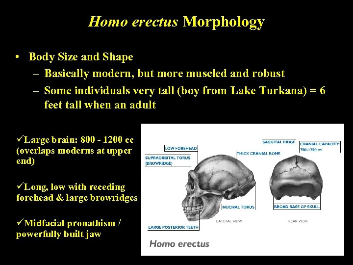Homo erectus Morphology • Body Size and Shape – Basically modern, but more muscled