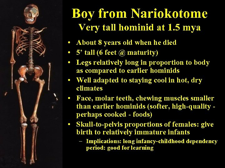 Boy from Nariokotome Very tall hominid at 1. 5 mya • About 8 years