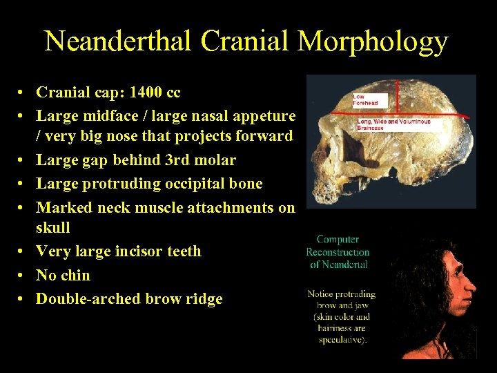 Neanderthal Cranial Morphology • Cranial cap: 1400 cc • Large midface / large nasal