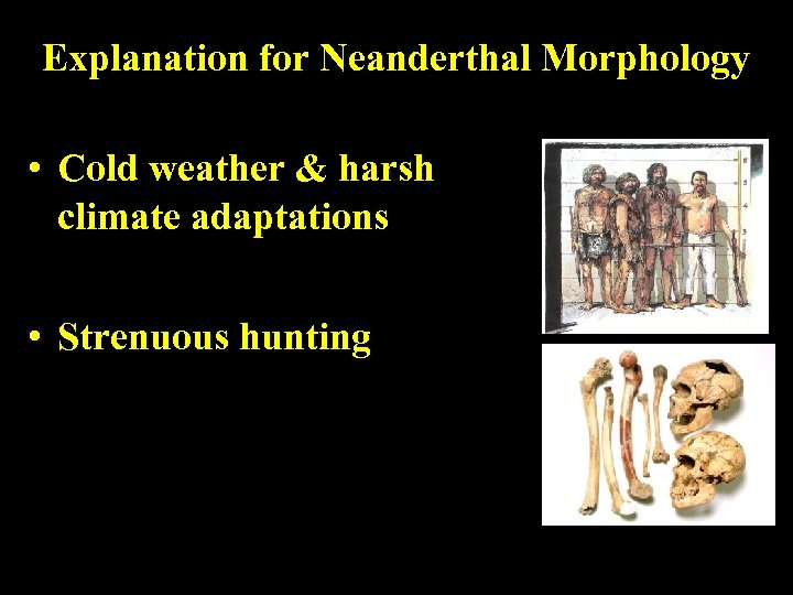 Explanation for Neanderthal Morphology • Cold weather & harsh climate adaptations • Strenuous hunting