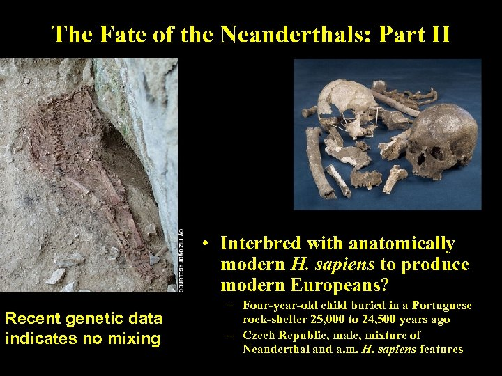 The Fate of the Neanderthals: Part II • Interbred with anatomically modern H. sapiens