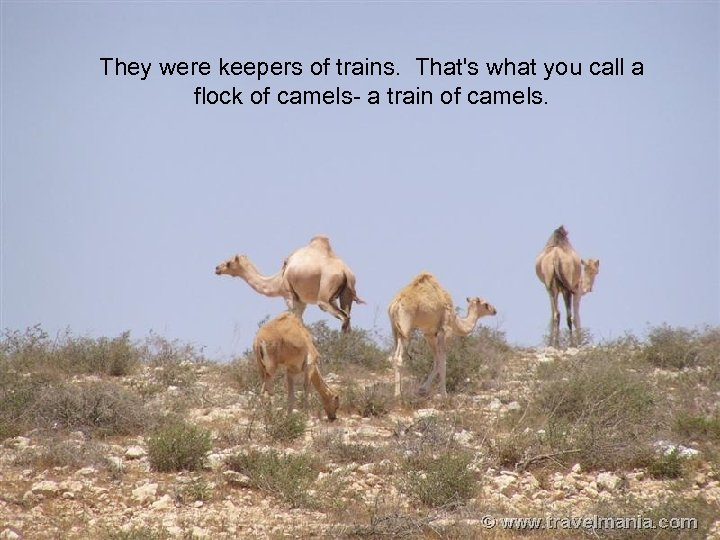 camels They were keepers of trains. That's what you call a flock of camels-