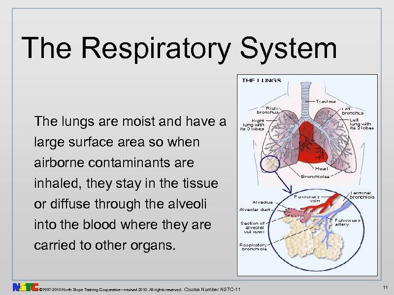 The Respiratory System The lungs are moist and have a large surface area so