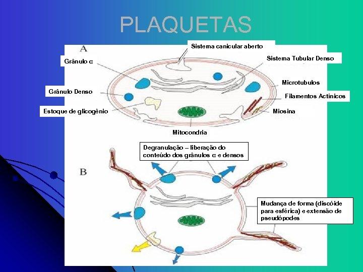 PLAQUETAS Sistema canicular aberto Sistema Tubular Denso Grânulo α Microtubulos Grânulo Denso Filamentos Actínicos