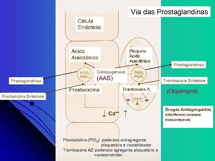 Via das Prostaglandinas Ciclooxigenase Prostaglandinas (AAS) Tromboxane Sintetase (Clopidogrel) Prostaciclina Sintetase ↓ Ca++ ↑