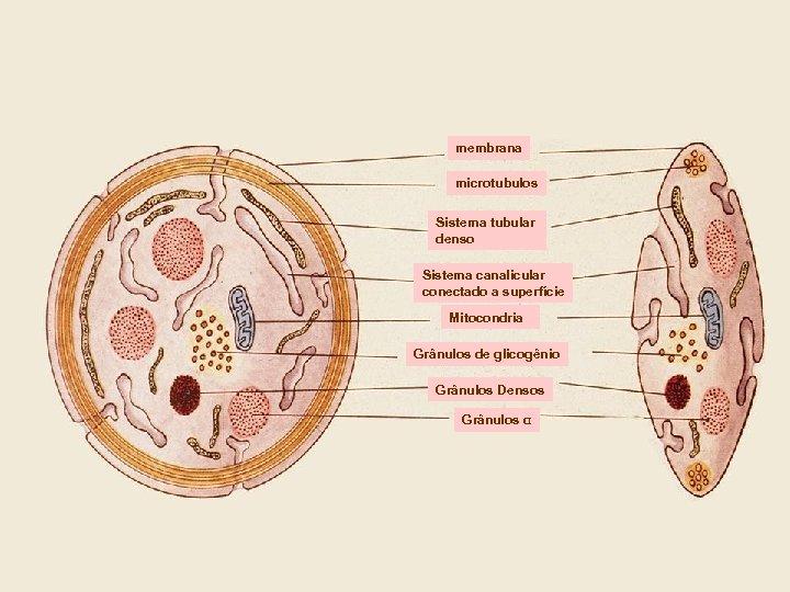 membrana microtubulos Sistema tubular denso Sistema canalicular conectado a superfície Mitocondria Grânulos de glicogênio