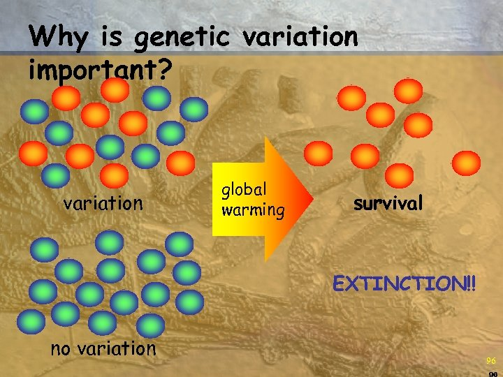 Why is genetic variation important? variation global warming survival EXTINCTION!! no variation 96 96