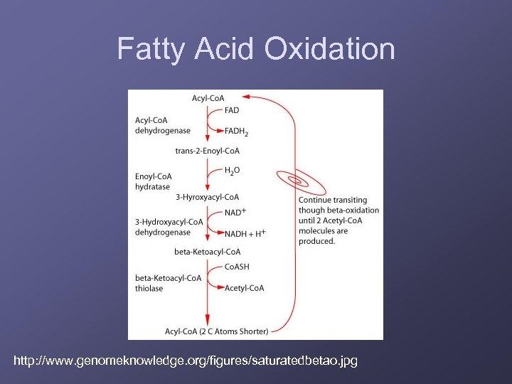 Fatty Acid Oxidation http: //www. genomeknowledge. org/figures/saturatedbetao. jpg