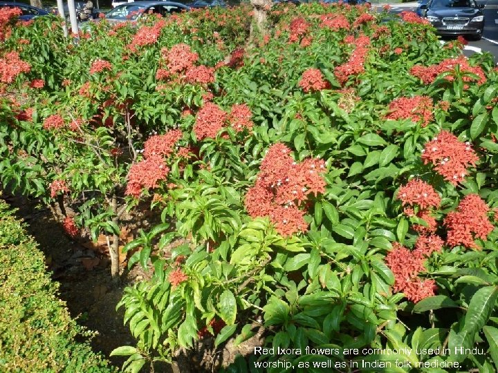 Red Ixora flowers are commonly used in Hindu worship, as well as in Indian