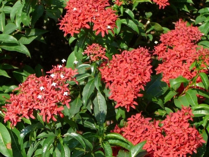 Ixora (Santa Rita, Cruz de Malta) is also commonly known as West Indian Jasmine