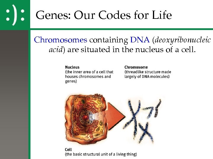 Genes: Our Codes for Life Chromosomes containing DNA (deoxyribonucleic acid) are situated in the