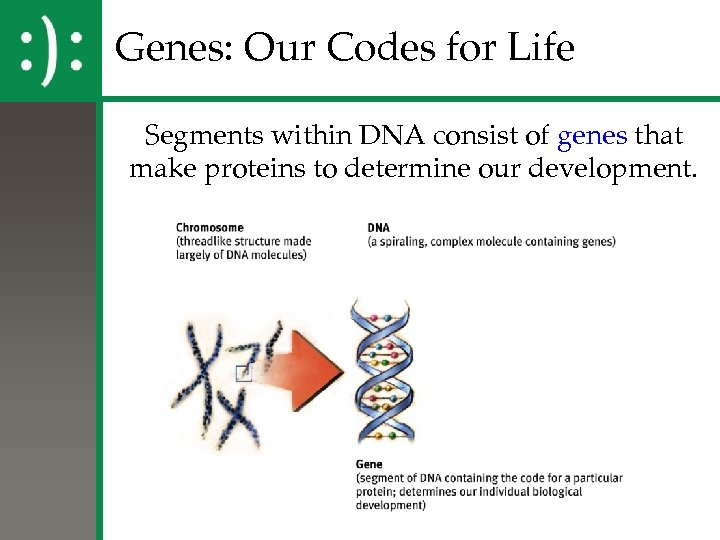 Genes: Our Codes for Life Segments within DNA consist of genes that make proteins