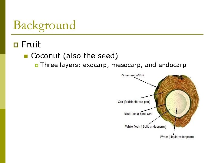 Background p Fruit n Coconut (also the seed) p Three layers: exocarp, mesocarp, and