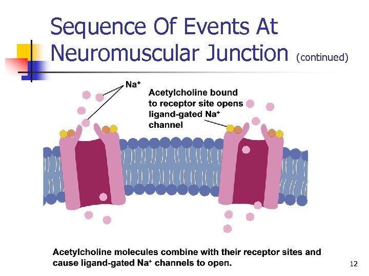 Sequence Of Events At Neuromuscular Junction (continued) 12