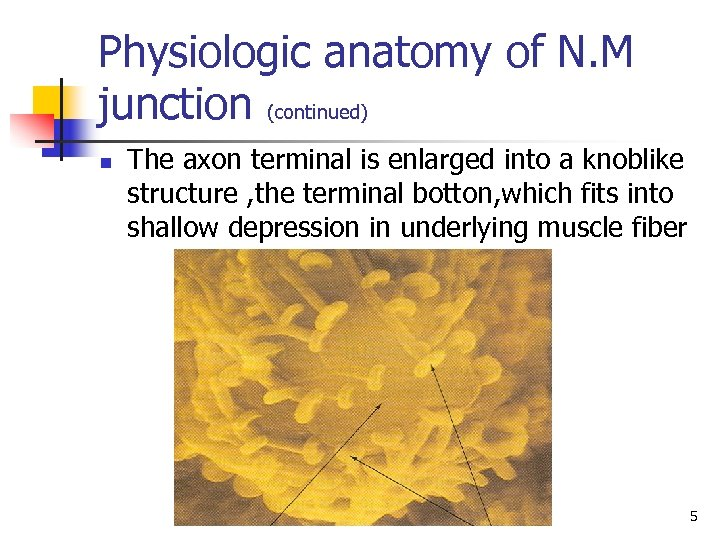 Physiologic anatomy of N. M junction (continued) n The axon terminal is enlarged into