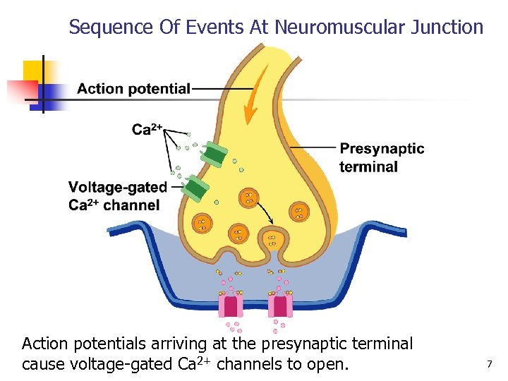 Sequence Of Events At Neuromuscular Junction Action potentials arriving at the presynaptic terminal cause