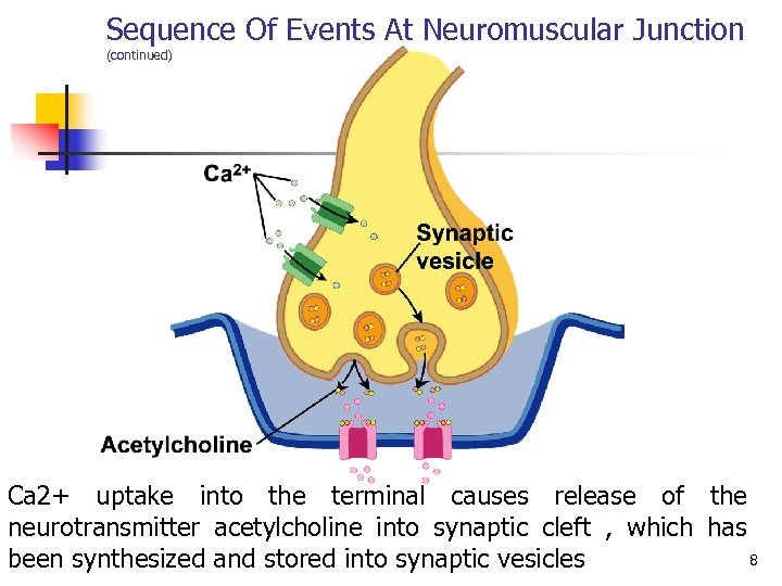 Sequence Of Events At Neuromuscular Junction (continued) Ca 2+ uptake into the terminal causes