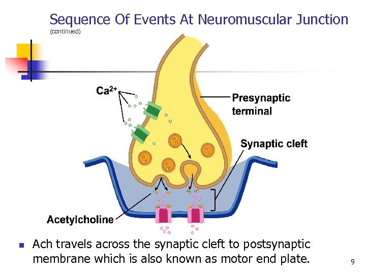 Sequence Of Events At Neuromuscular Junction (continued) n Ach travels across the synaptic cleft