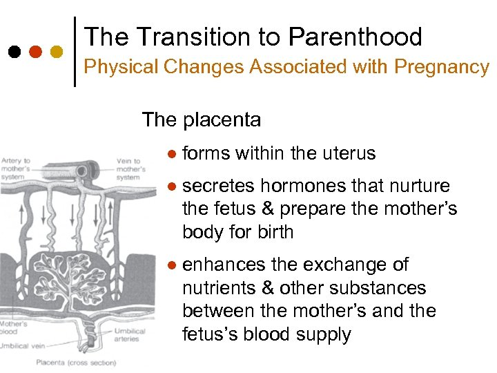 The Transition to Parenthood Physical Changes Associated with Pregnancy The placenta l forms within