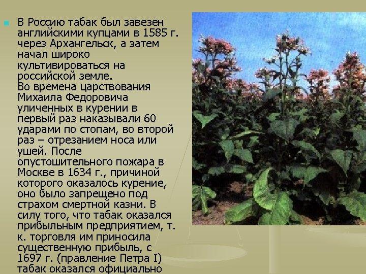 n В Россию табак был завезен английскими купцами в 1585 г. через Архангельск, а