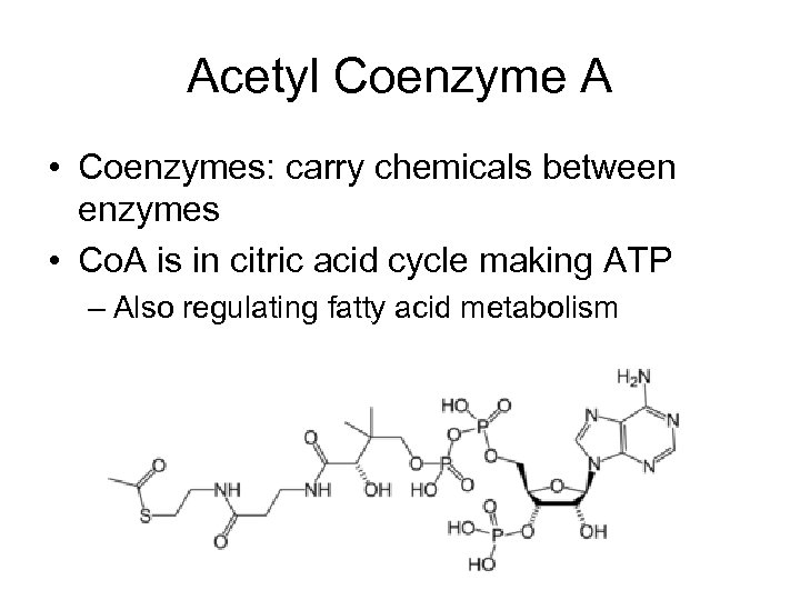 Acetyl Coenzyme A • Coenzymes: carry chemicals between enzymes • Co. A is in