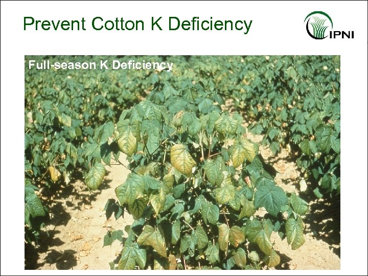 Prevent Cotton K Deficiency Full-season K Deficiency