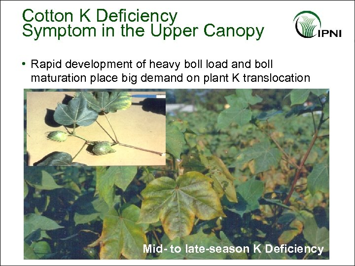 Cotton K Deficiency Symptom in the Upper Canopy • Rapid development of heavy boll