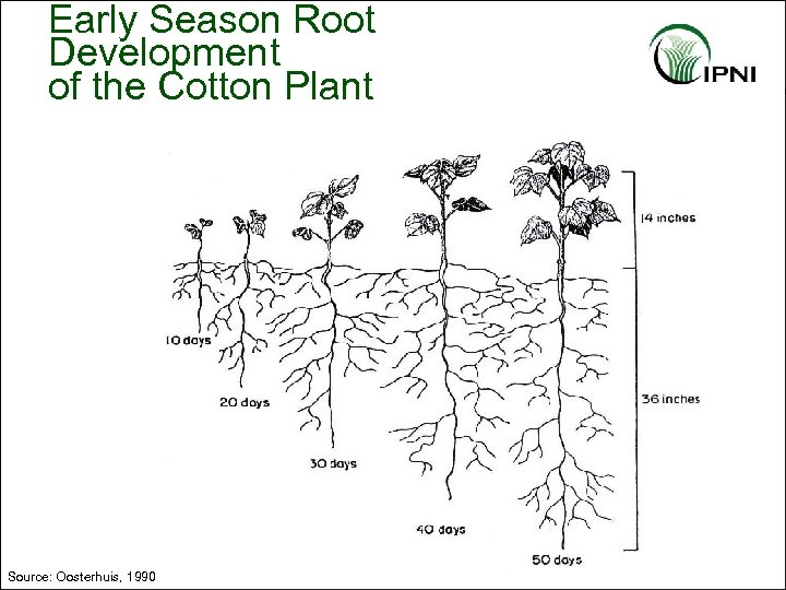 Early Season Root Development of the Cotton Plant Source: Oosterhuis, 1990