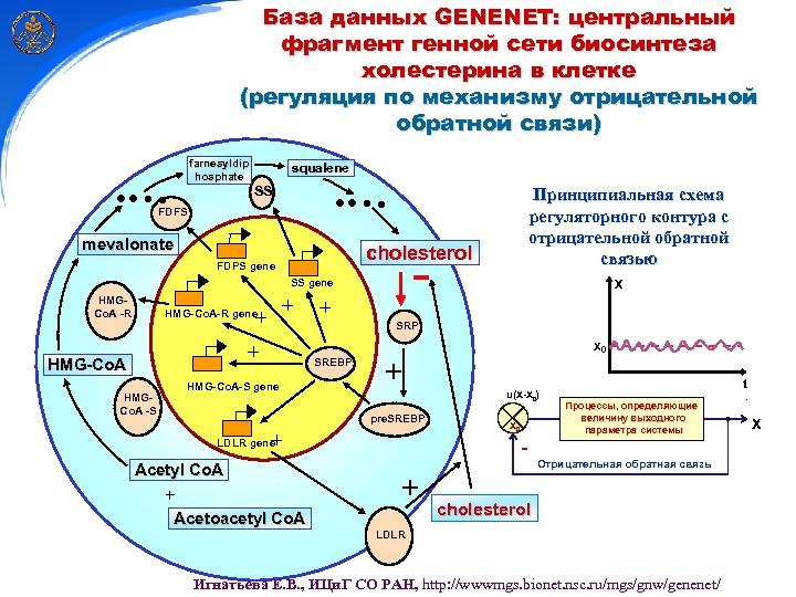База данных GENENET: центральный фрагмент генной сети биосинтеза холестерина в клетке (регуляция по механизму