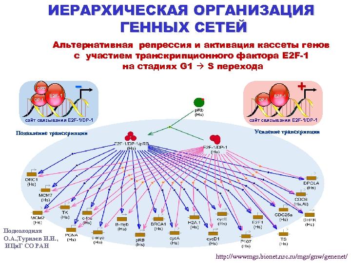 ИЕРАРХИЧЕСКАЯ ОРГАНИЗАЦИЯ ГЕННЫХ СЕТЕЙ Альтернативная репрессия и активация кассеты генов с участием транскрипционного фактора