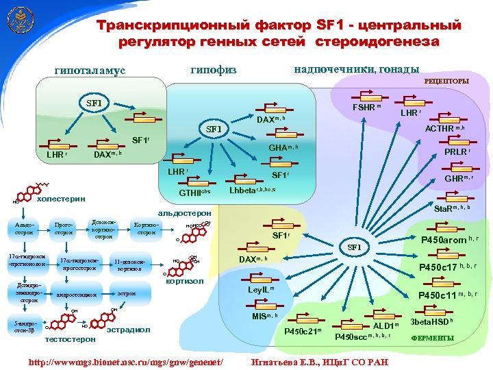 Транскрипционный фактор SF 1 - центральный регулятор генных сетей стероидогенеза надпочечники, гонады гипофиз гипоталамус