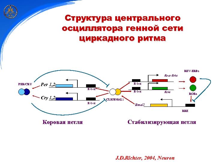 Структура центрального осциллятора генной сети циркадного ритма REV-ERBa Reva-Erba PER/CRY Per 1, 2 E-box
