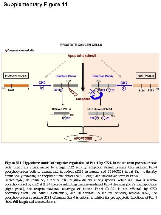 Supplementary Figure 11 Figure S 11. Hypothetic model of negative regulation of Par-4 by