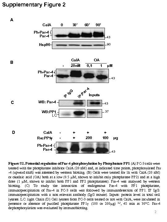 Supplementary Figure 2 A Cal. A 0 30' 60' 90' Ph-Par-4 43 Hsp 90