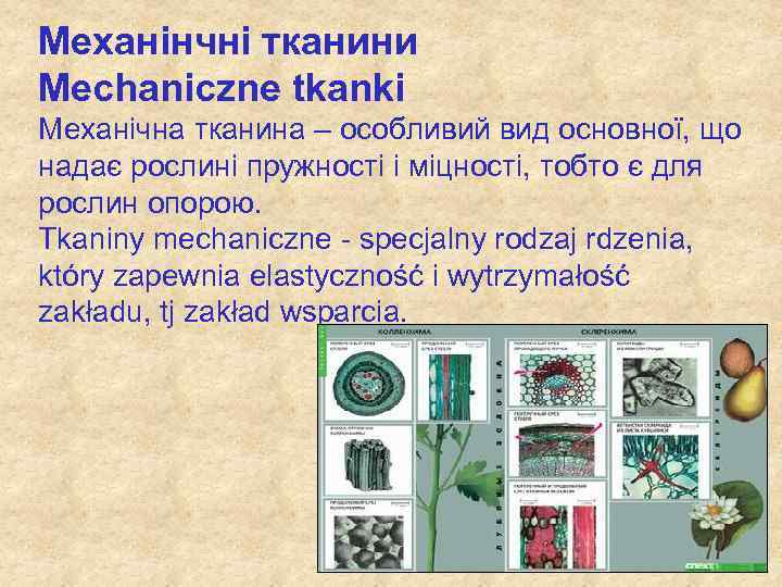Механінчні тканини Mechaniczne tkanki Механічна тканина – особливий вид основної, що надає рослині пружності