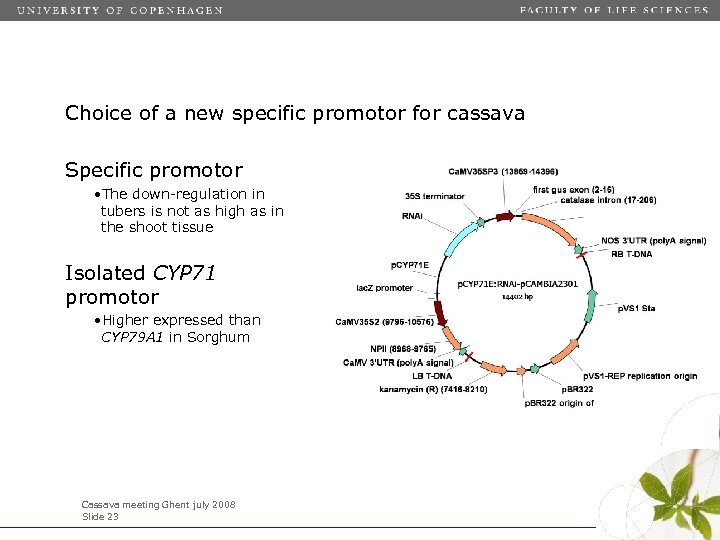 Choice of a new specific promotor for cassava Specific promotor • The down-regulation in