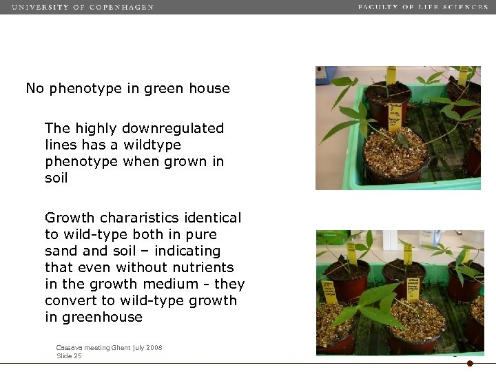 No phenotype in green house The highly downregulated lines has a wildtype phenotype when
