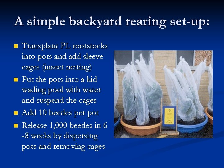 A simple backyard rearing set-up: n n Transplant PL rootstocks into pots and add